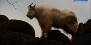 Woodland Park Zoo Mountain Goat