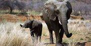 Elephants In The Savanna