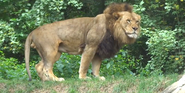 Pittsburgh Zoo Lion