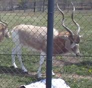 Rolling Hills Zoo Addax