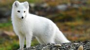 Arctic-fox-wallpaper-9766-10161-hd-wallpapers