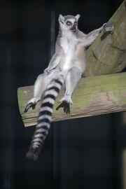 Lemur, Ring Tailed