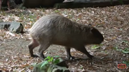 Memphis Zoo Capybara