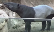 San Diego Zoo Malyan Tapir