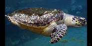 Columbus Zoo Sea Turtle