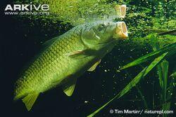 Common-carp-feeding-at-surface