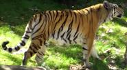 Disney's Animal Kingdom Tiger