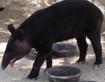 LA Zoo Mountain Tapir