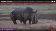 People Kill Rhinoceroses For Their Horns