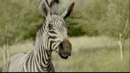 San-diego-zoo-safari-park-zebra-and-cheetah-large-6