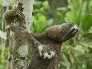 Thomas-marent-brown-throated-three-toed-sloth-bradypus-variegatus-amacayacu-national-park-colombia