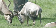 Toledo Zoo Wildebeest