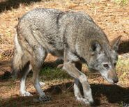 Wolf, red