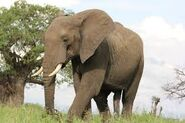 Chinese Word for Elephant