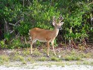 Deer, Key