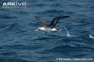 Laysan-albatross-taking-off-from-sea