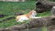 Memphis Zoo Bengal Tiger