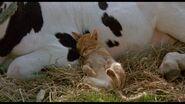 Milo and Otis Cattle