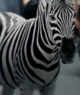 Zoo 2015 Zebra