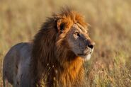 African-lion-male.jpg.653x0 q80 crop-smart