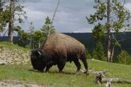 Bull Bison in Mud Volcano Area-750px