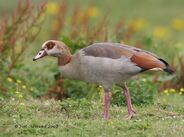 Egyptian Goose Cley 22 7 08 IMG 5519