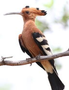 African Hoopoe, Upupa africana (Upupa epops) at Marakele National Park, Limpopo, South Africa (16218185517)