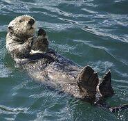 Otter, Sea