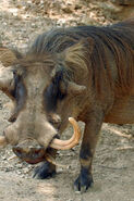 Common Warthog LG
