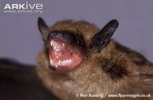 Big-brown-bat-close-up-with-mouth-open