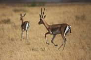 Grant's gazelle buck and fawn