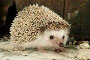 Groundhog-day-hedgehog-germany 12531 600x450