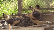 LA Zoo African Wild Dog