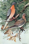 Mershon's The Passenger Pigeon (frontispiece, crop)
