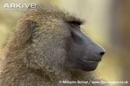 Olive-baboon