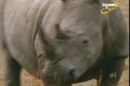 Scout's Safari Rhinos