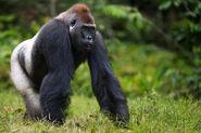 Western-lowland-gorilla-FRONT-PAGE