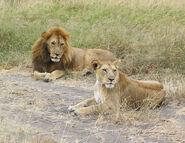 6-Male Female Lions fs