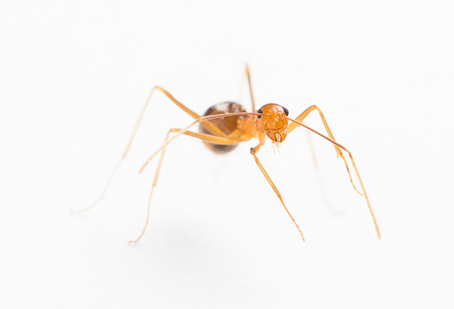 Yellow Crazy Ant | The Parody Wiki | Fandom