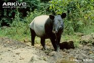 Asian-tapir