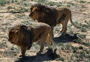 Filename-lions-males