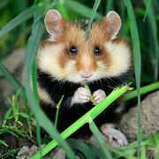 Hamsters-black-bellied-square