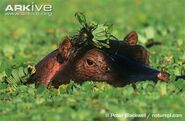 Hippopotamus-emerging-from-under-water-hyacinths