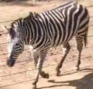 Okland Zoo Zebra