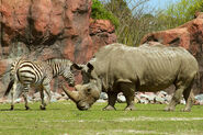 Rhinoceros and Zebra