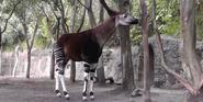 San Diego Zoo Okapi
