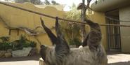 San Diego Zoo Sloth