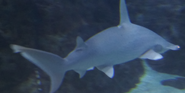 Toledo Zoo Hamerhead Shark