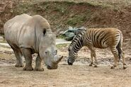 White Rhinoceros and Plains Zebra