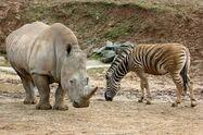 White Rhinoceros and Plains Zebra